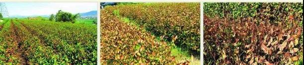 高温干旱季节的茶园防灾减灾措施