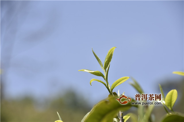 普洱茶投资分析 曼松与困鹿山两座非同一般的山头