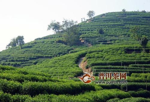 杭州加强西湖龙井茶数字化管理,茶也有身份证!