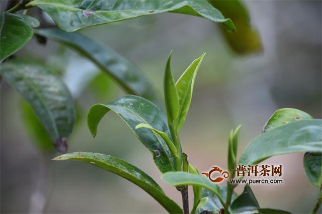 海拔越高,茶叶品质就一定越好吗?