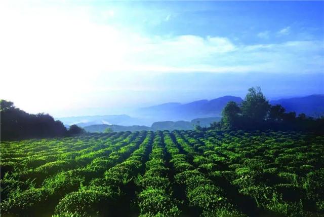 四川川茶产业前7月逆势增长