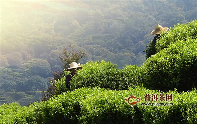 黄山毛峰与其它绿茶