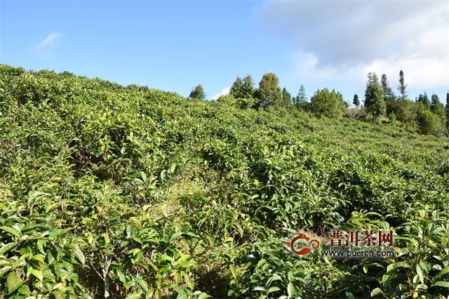 """揭晓""""茶叶第一股""""背后的普洱茶山头与江湖"""