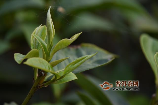 金秀发展茶产业带动脱贫