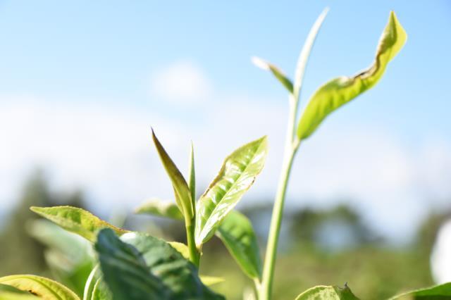 阿塞拜疆前7月茶叶呈增长趋势