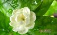 茉莉茶属于什么茶叶种类