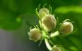 花茶茉莉茶有几种类型