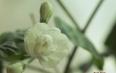 茉莉茶叶的作用及禁忌
