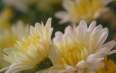适宜喝菊花的好处和作用