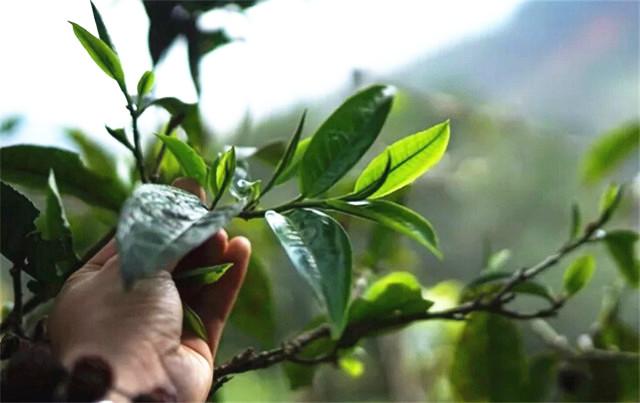 中茶澜沧古茶年营收达20亿 茶叶大数据管理 袋泡茶潜力大