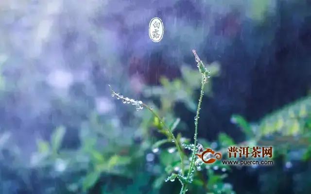 七彩云南庆沣祥珍藏陈香金芽:秋意凝朝露 金芽暖寒凉