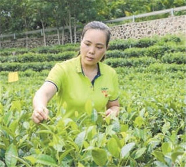 全国人大代表符小琴:茶叶改变了她的命运