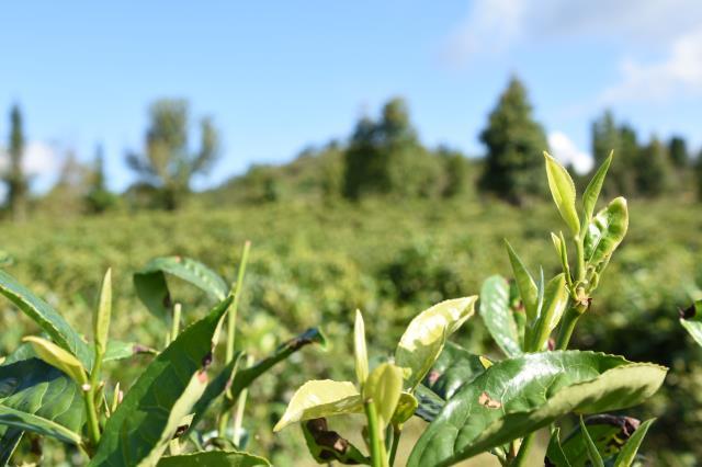 2020中国茶叶进出口情况分析