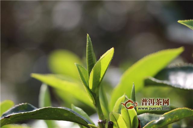 茶叶能不能实施产业化开发?