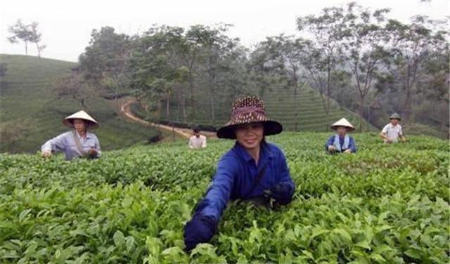 越南:富寿省努力为茶叶产品申请品牌认证