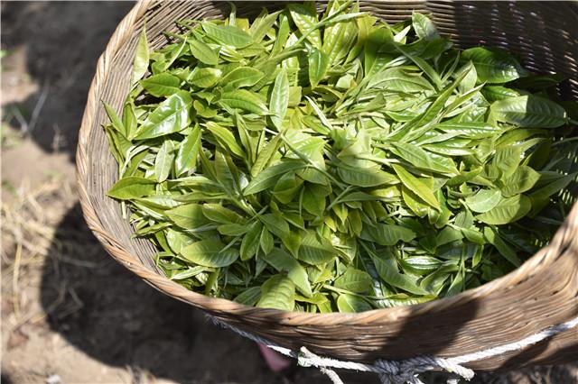 云南普洱茶发展现状