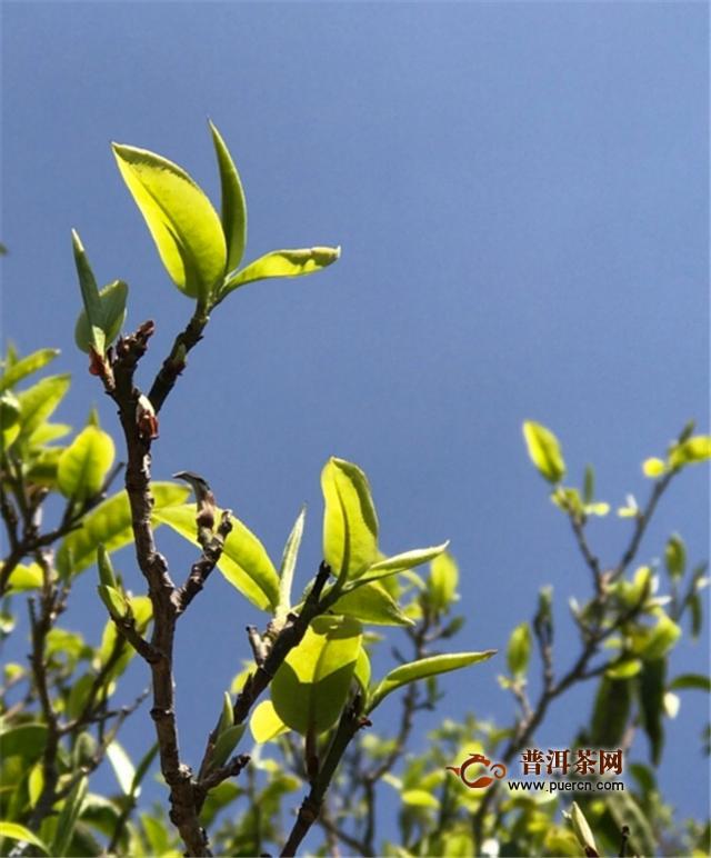 采普洱茶真的需要爬树吗?