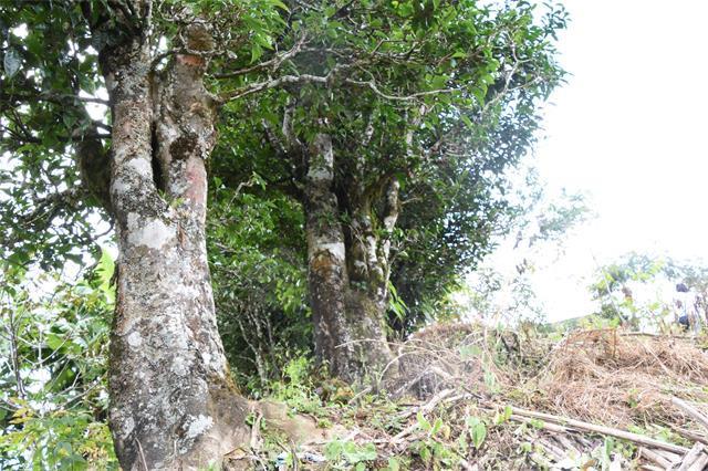 整治种茶毁林行动初见成效