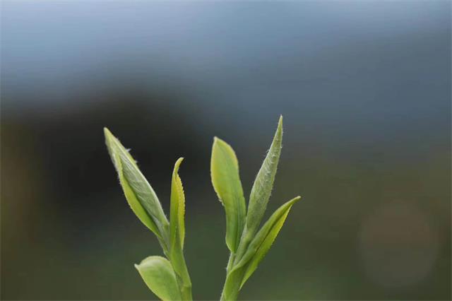 """海垦茶叶产品亮相""""海南好物""""直播间"""