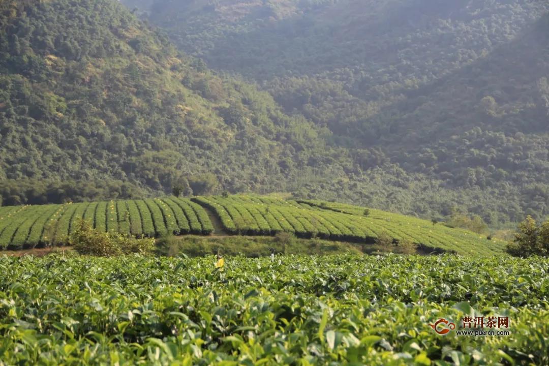 怎样种植无公害茶叶?五大要点要掌握!