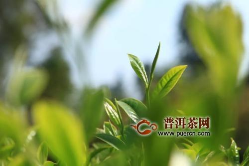 凤庆滇红现状及产区观察