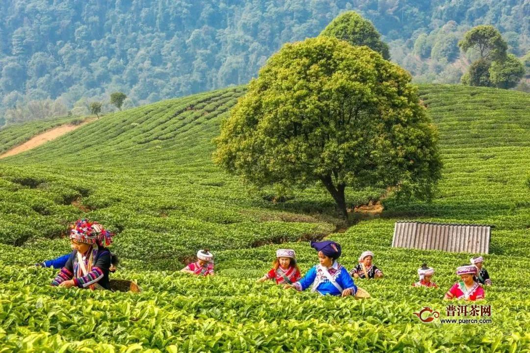 """为什么说""""文化""""是大益茶升值的发动机?"""
