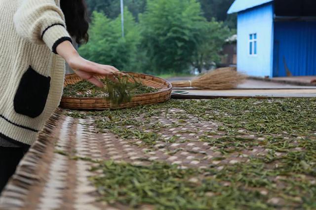 为什么普洱茶的工艺中一定要强调「晒青」?
