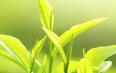 黄茶的代表品种主要包括