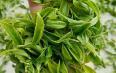 每天喝多少乌龙茶可以减肥