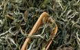绿茶的保健功效与禁忌