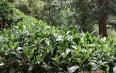 信阳毛尖绿茶制作过程