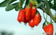 用菊花枸杞子泡水喝的好处与作用