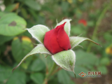 玫瑰花茶能祛斑是不是