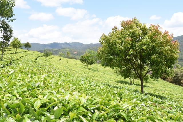 武夷山黄村走做茶之路
