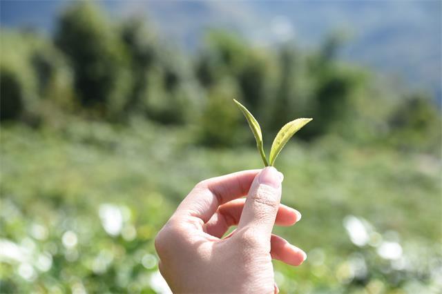 罗坑镇茶业生产发展