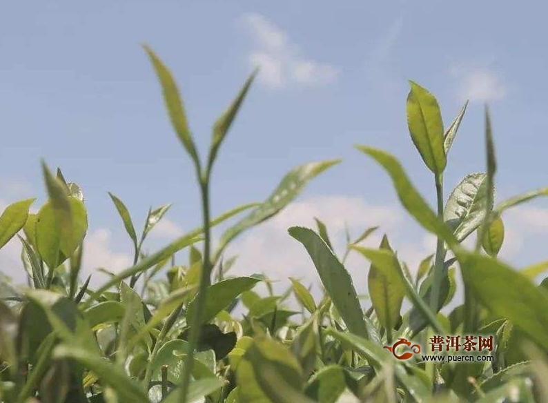 福鼎白茶制作工艺包括哪几个步骤