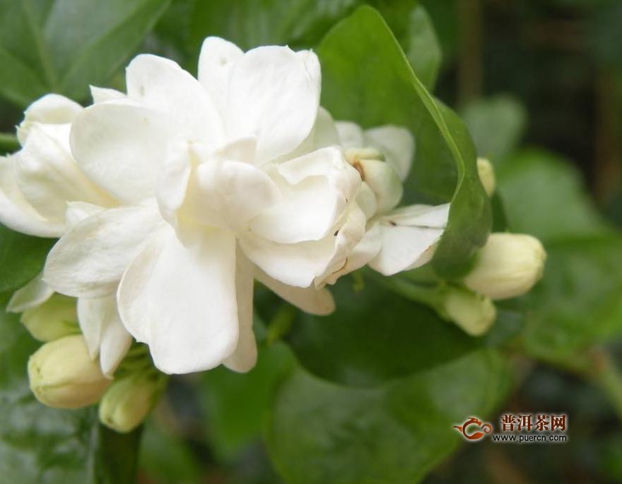 茉莉花茶属于什么茶叶类型