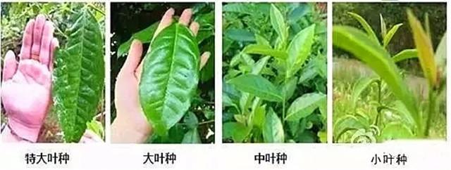 普洱大叶种与小叶种,你会区分吗?