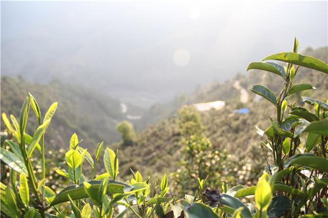 百里杜鹃生态茶初见成效