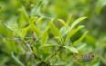 云南滇红茶属于什么茶叶类型