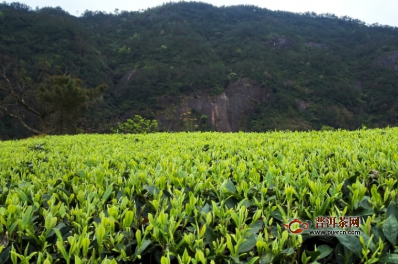 白茶为什么可以长期存放