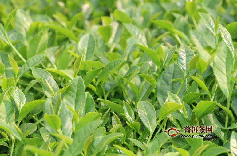 适宜饮用乌龙茶可以帮助减肥是吗