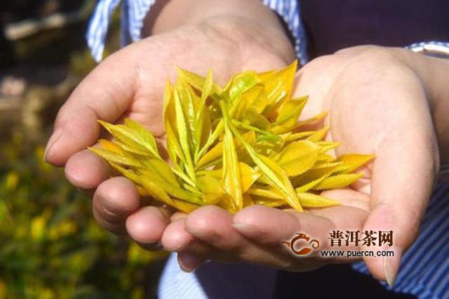 君山银针茶是什么茶?