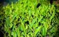 乌龙茶来源与发展简单介绍