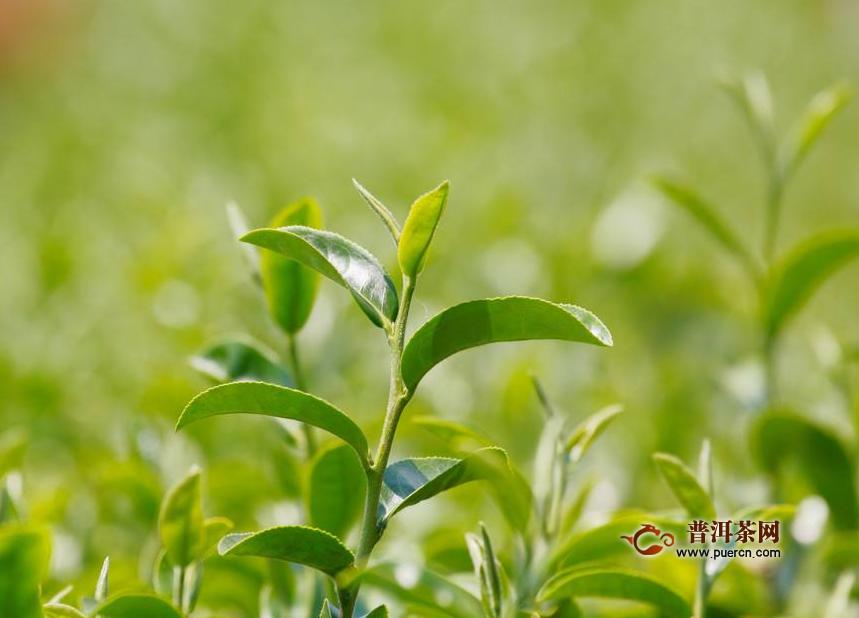 竹叶青茶非常贵吗