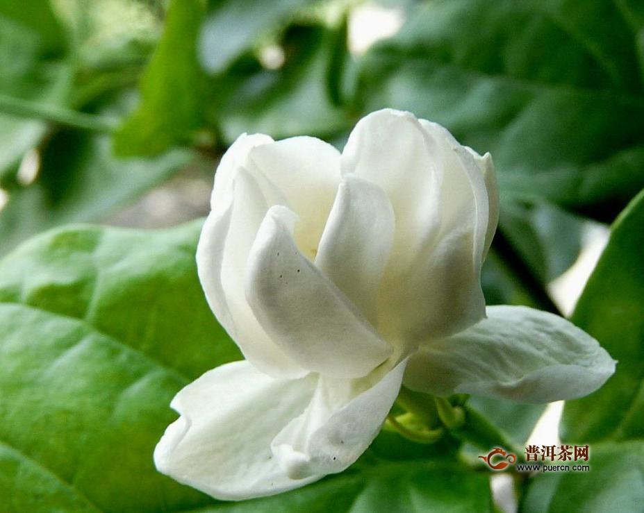 喝茉莉花茶的功效和作用有哪些