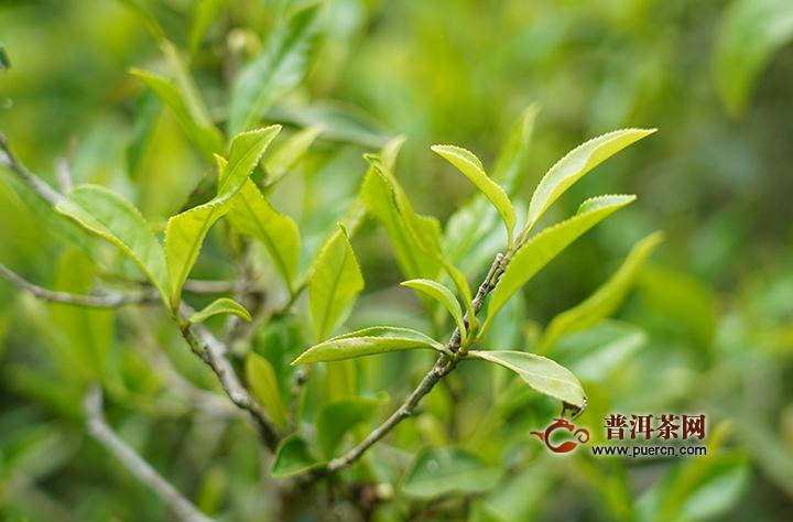 云南滇红茶的功效有哪些
