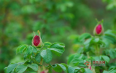 玫瑰花茶的5种泡法