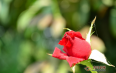 喝玫瑰花茶能祛斑是不是