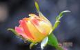 饮用玫瑰花茶的功效与作用